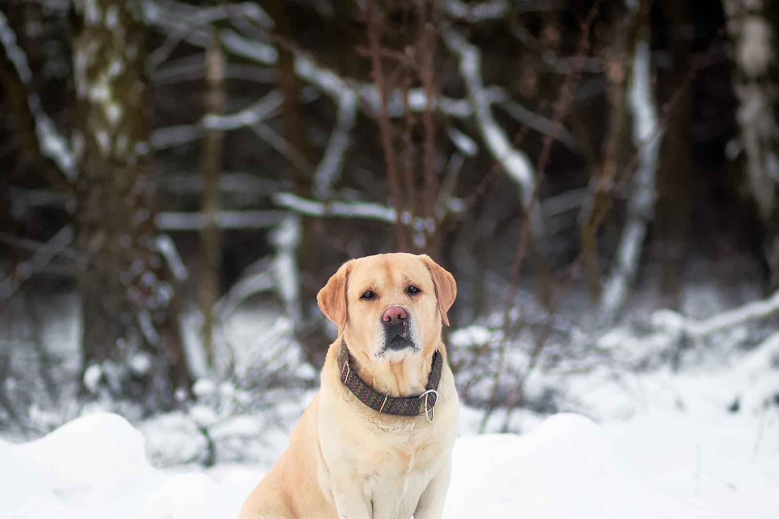 zima, pies, labrador, psy rasowe, biegnący pies, pies w śniegu, rasy psów, fotografia psów,