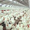 Perbedaan daging ayam kampung dan ayam broiler yang perlu diketahui
