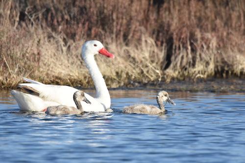 Cisne y dos polluelos