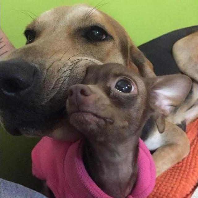 Tình bạn thắm thiết mặn nồng của 12 chú chó to xác và những người bạn tí hon