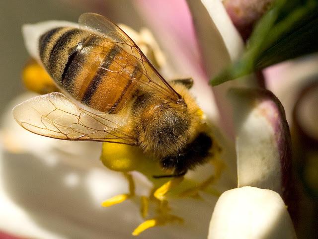 pszczoły i neonikotynoidy