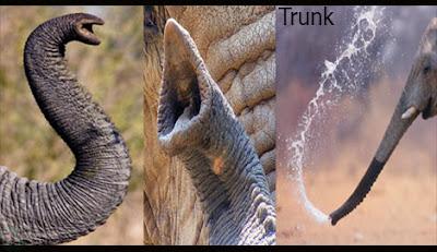 trunk, elephant trunk