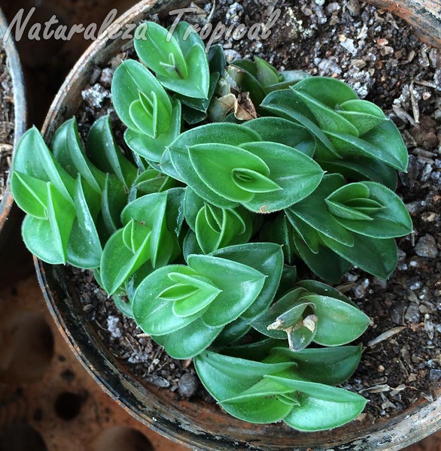 Fotografía de la planta suculenta Tradescantia navicularis