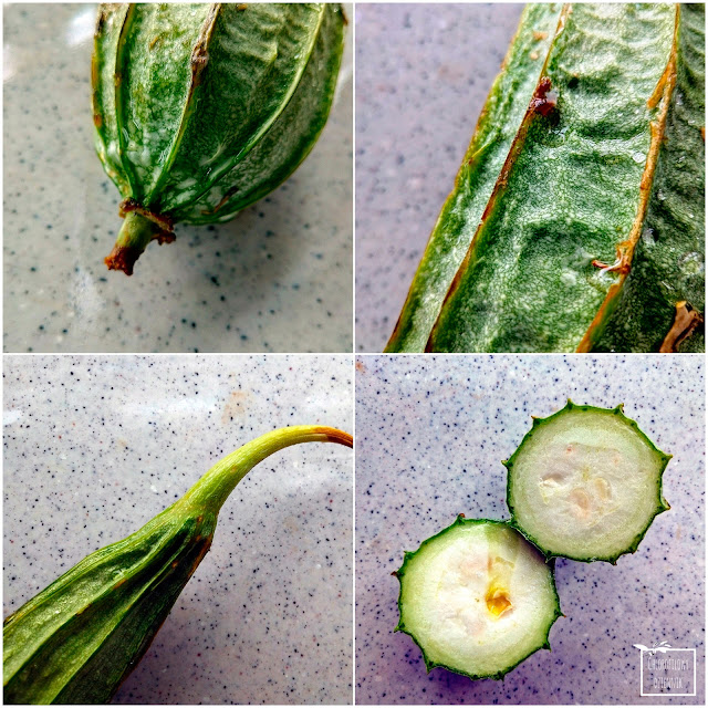 Chińska okra (Luffa acutangula), czyli inaczej trukwa ostrokątna lub gąbczak z rodziny dyniowatych. Ciekawe azjatyckie warzywo, dziwne warzywa, ciekawostki botaniczne, chińskie warzywa. Wygląd, nawa, wzrost, smak, informacje, zdjęcia.