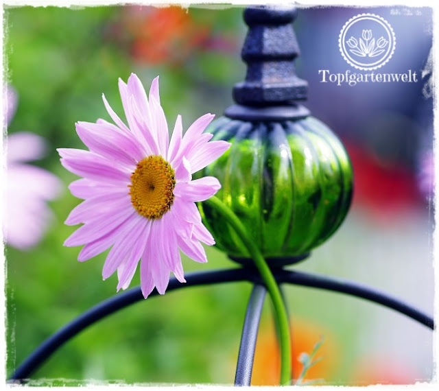 Gartenblog Topfgartenwelt Pinterest: Gartenblogger Garten Gruppenpinnwand, Magerite