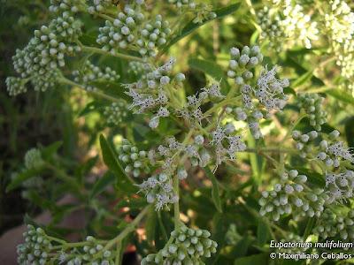 Chilca de olor Eupatorium inulifolium