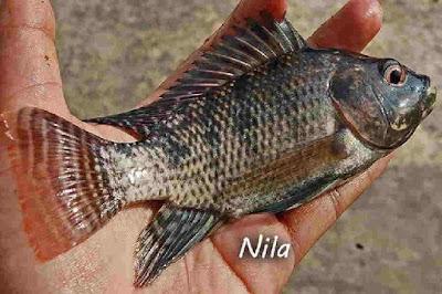 Perbedaan Ikan Nila dan Mujair