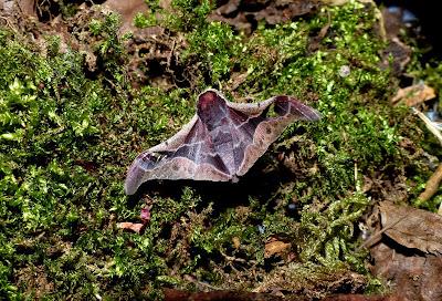 Holocerina species male