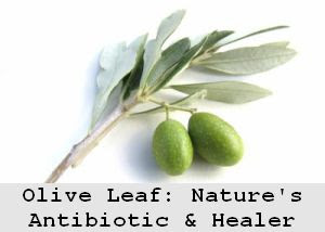 https://foreverhealthy.blogspot.com/2012/04/olive-leaf-extract-is-mother-natures.html#more