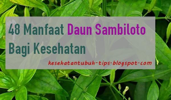 Tanaman sambiloto banyak ditemukan di Indonesia Tumbuhan Berkhasiat  48 Manfaat Daun Sambiloto Bagi Kesehatan