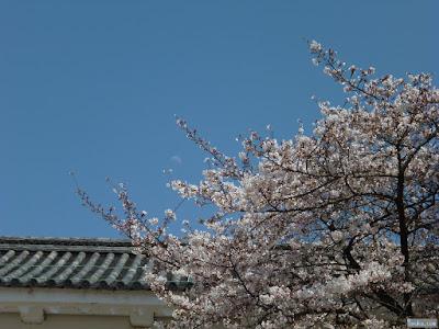 月読命と桜