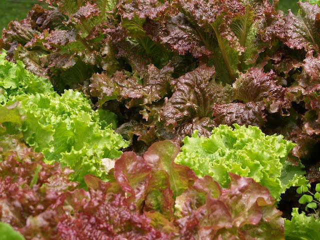 Beberapa hama dan penyakit pada sayuran  selada dan pengendaliannya