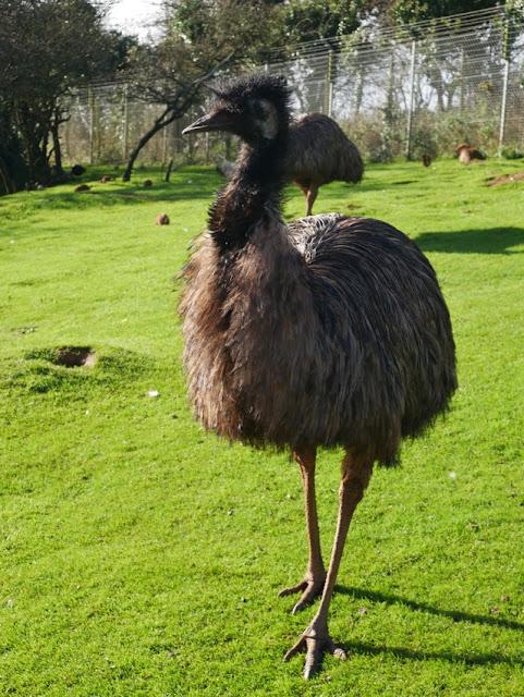 South Lakes Safari Zoo emu