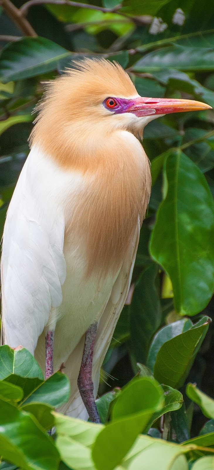Photo of a cattle egret.