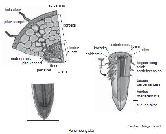 Struktur Anatomi Akar Dari Luar Ke Dalam