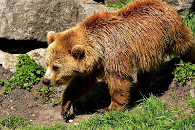 Facts About Brown Bear