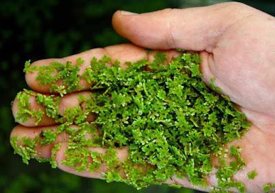 Azola - natural feeds