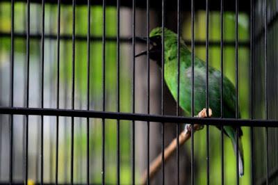 4 Tips Dan Cara Meningkatkan Volume Burung Cucak Ijo Paling Akurat