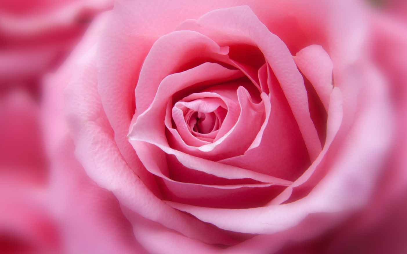 Get rose flowers images dps, beautiful whatsapp dp rose flowers rose images for whatsapp profile pic , rose dps and beautiful love rose. (HD) Beautiful Flower Images For Whatsapp Profile DP