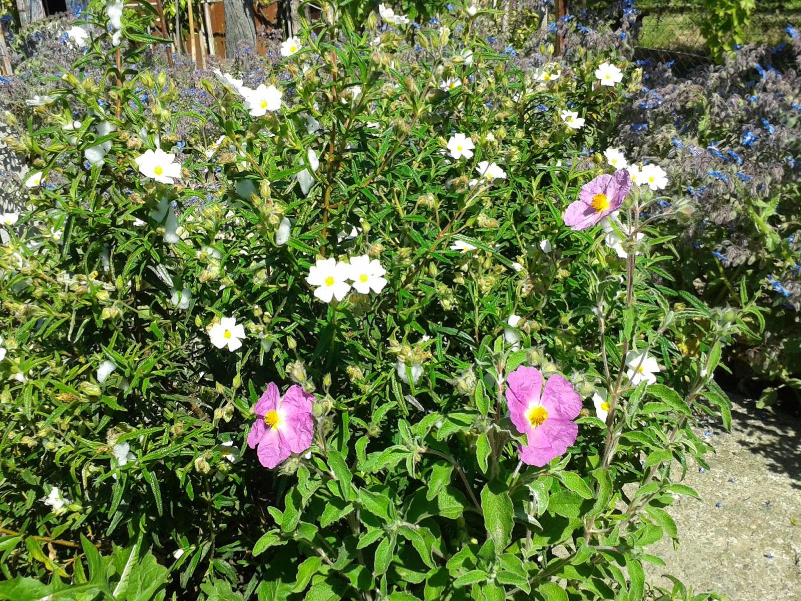 Il blog di sam il mio vialetto fiorito for Pianta mediterranea con fiori rossi bianchi e gialli