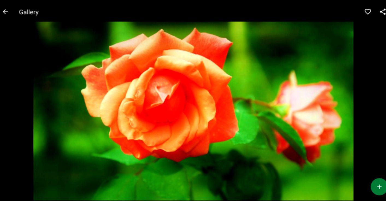 Orange Roses Wallpapers | Wallpapers Beautiful