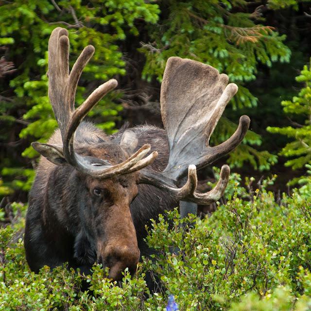 Bull Moose, Brainard Lake