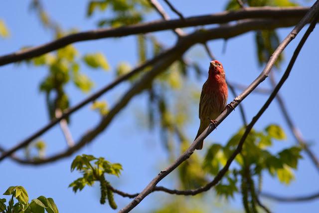 House Finch birdin Pembroke, Ontario Photo by Stacey McIntyre-Gonzalez