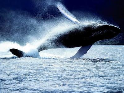 الحوت الأزرق يعد من أضخم أنواع الحيتان على وجه الأرض ، 0_8081c_112d515b_ori