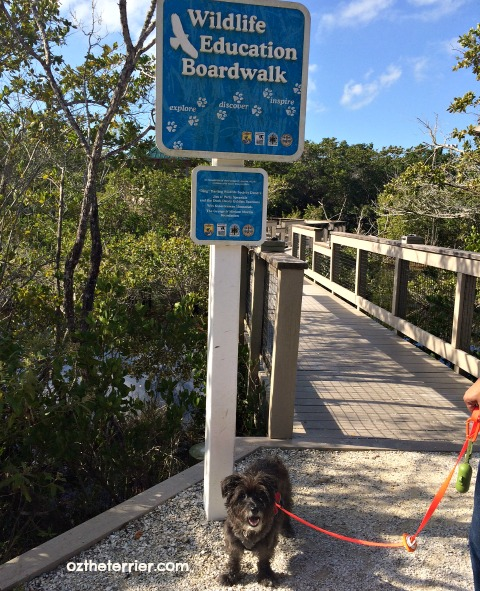Oz the Terrier Wildlife Education Boardwalk JN Ding Darling NWR