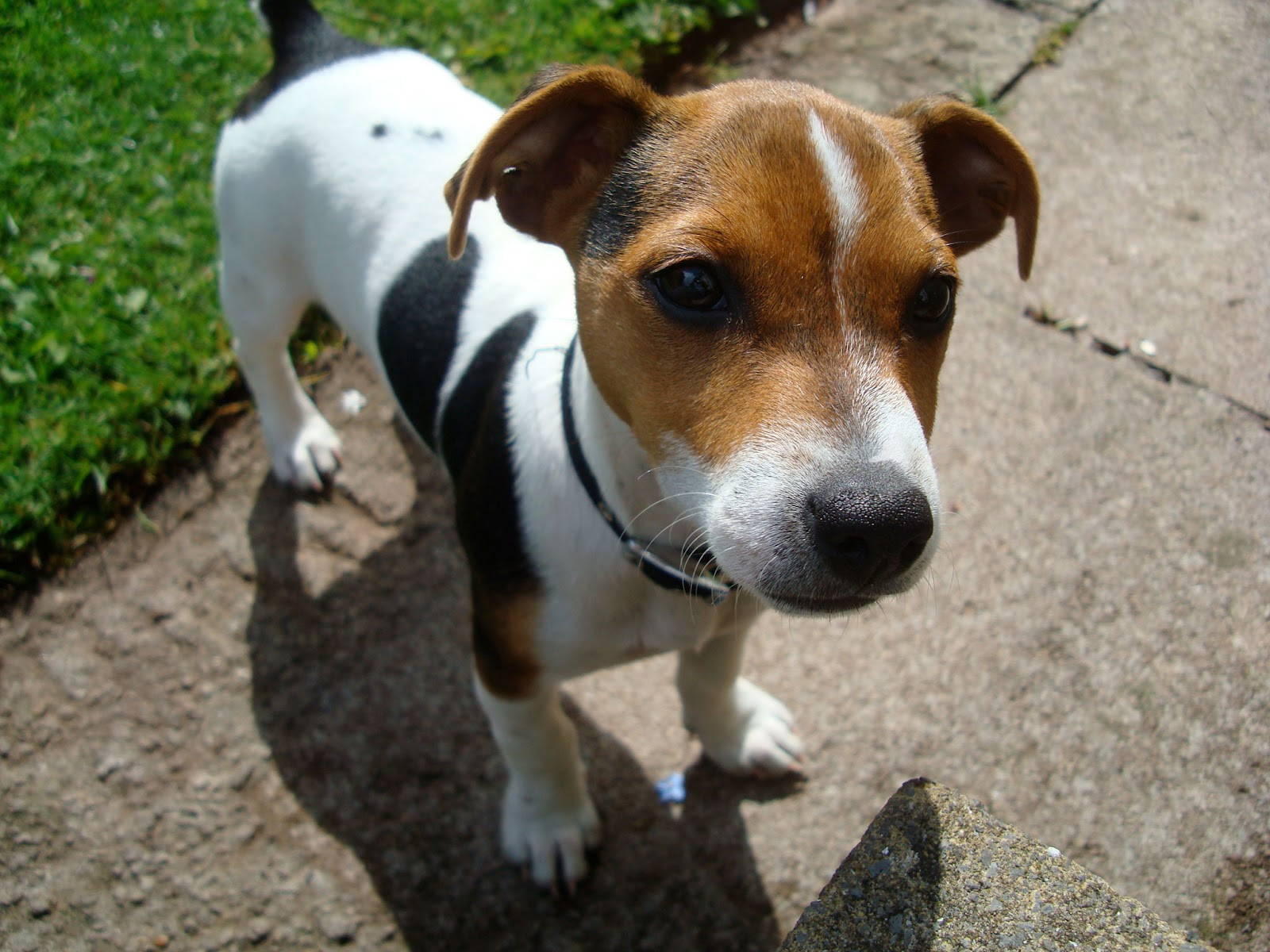 Jack Russell Wallpapers | Fun Animals Wiki, Videos ...