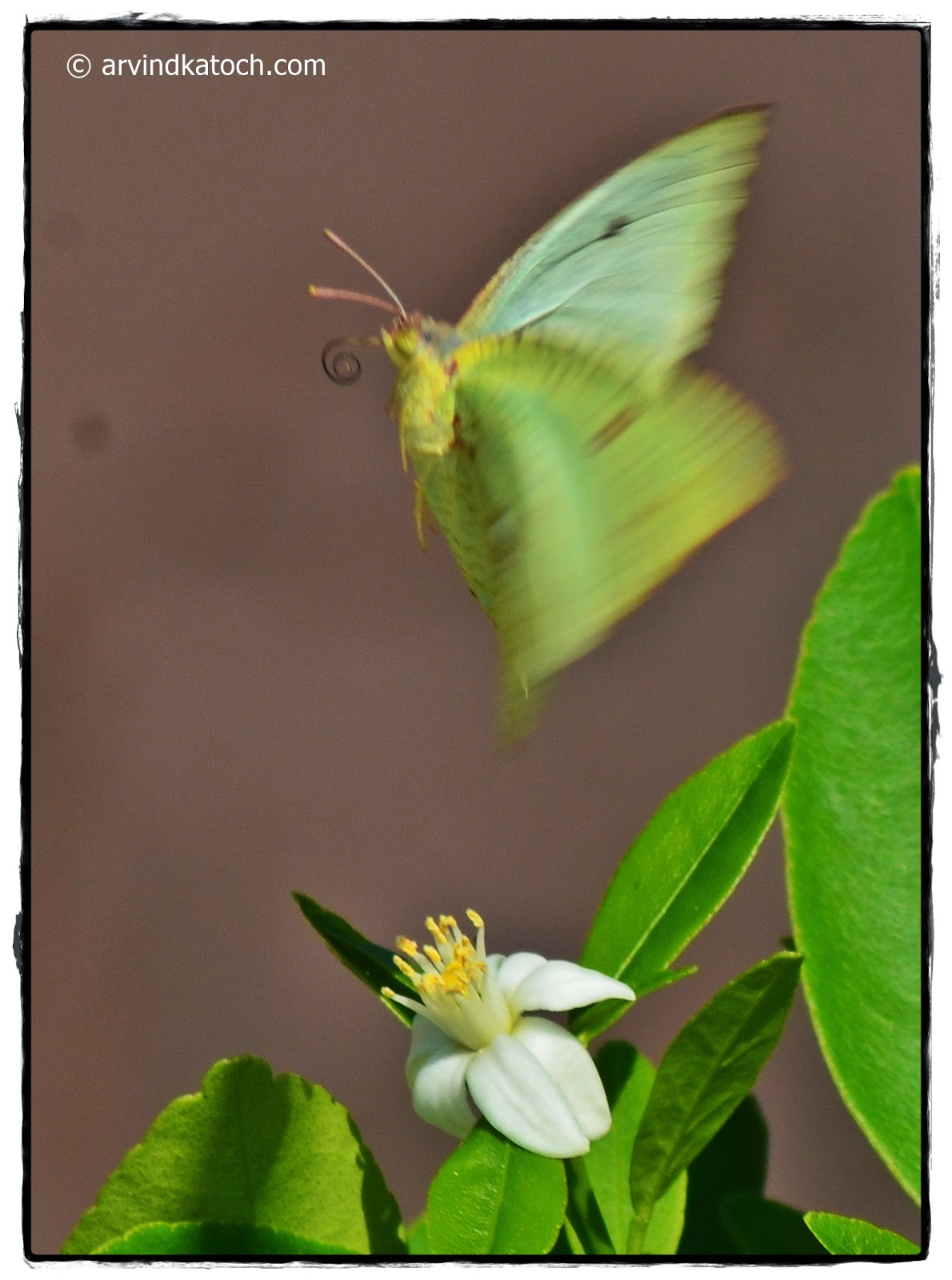 Butterfly, Hovering, Lime Flower