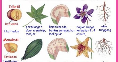 Tumbuhan Dikotil Dan Monokotil Ciri Ciri Beserta Contohnya Juragan Les