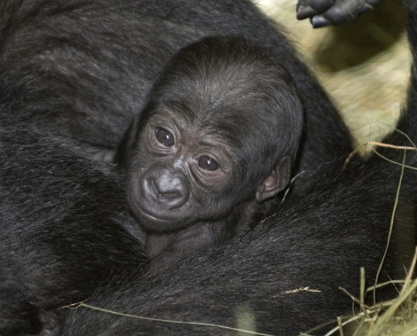 Baby Animals: Baby Gorilla 1