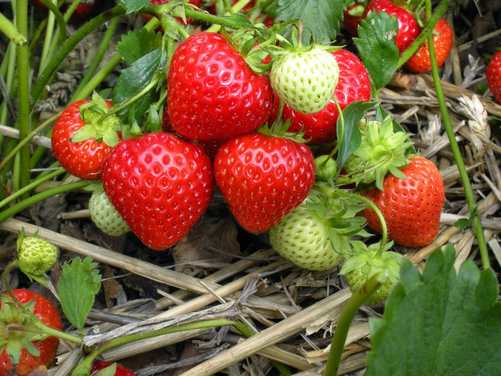 HOW TO TAKE CUTTINGS FROM STRAWBERRY PLANTS |The Garden of Eaden