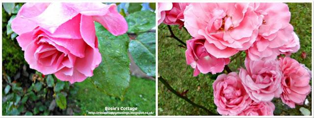 Rosies pretty roses