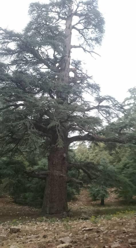أكبر شجرة في المغرب