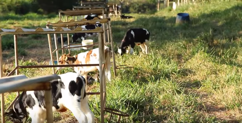 dairy-calves-calf