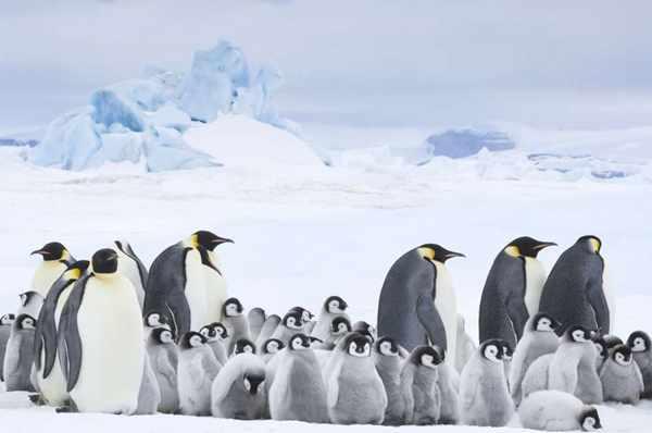 La marcia dei pinguini-  Il richiamo