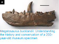 http://sciencythoughts.blogspot.co.uk/2017/06/megalosaurus-bucklandii-understanding.html