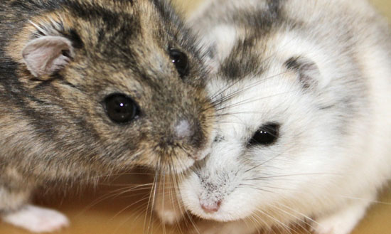Cara Mengatasi Hamster Stress