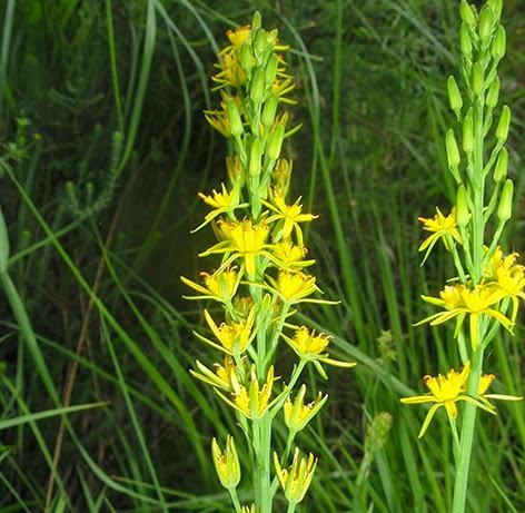 Nartecio (Narthecium ossifragum)