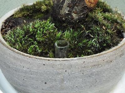 梅の盆栽の肥料用井戸(浸透桝)