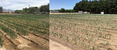 A composite photo of an onion field - the photo on the leaf shows a good stand of healthy plants, the photo on the right show the same field 2 days later after a hail storm that removed much of the foliage