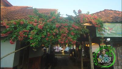 Bunga Melati Belanda di warung benih MANGYONO.com