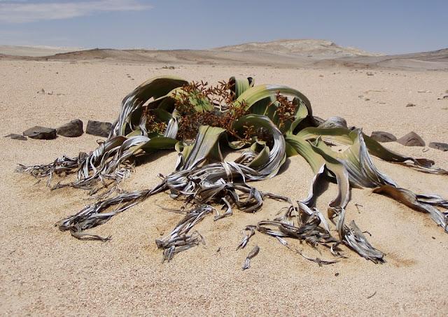 世界にある驚くべき植物、キソウテンガイ