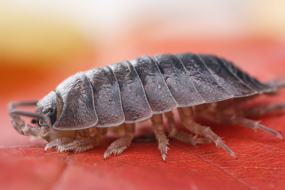 Information about woodlice