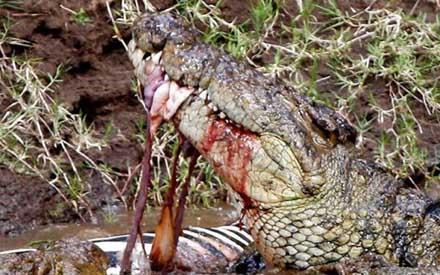 How Do Crocodiles Have Sex 21