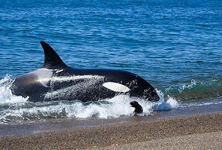 Orcas na Patagônia