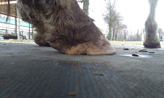 symptomatic PSSM horse hooves, forward foot syndrome