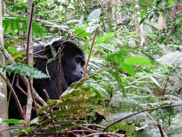 Juvenile mountain gorilla - Nkuringo family - Western Uganda